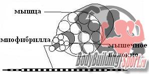 Состав мышцы